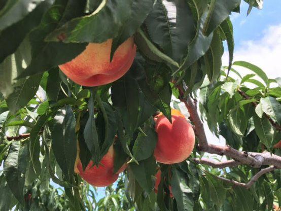山梨県産「あかつき」を使用。白鳳と白桃のいいとこどりの魅力がたっぷりの桃だ!