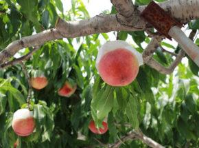 桃農園で桃の木になる桃