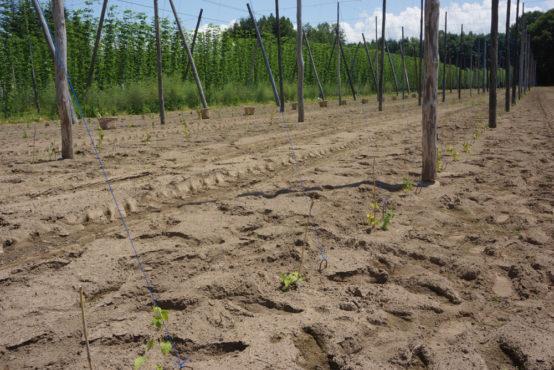 34アールの畑に植え付けた苗